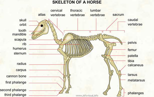 horse skeletal system. Black Bedroom Furniture Sets. Home Design Ideas