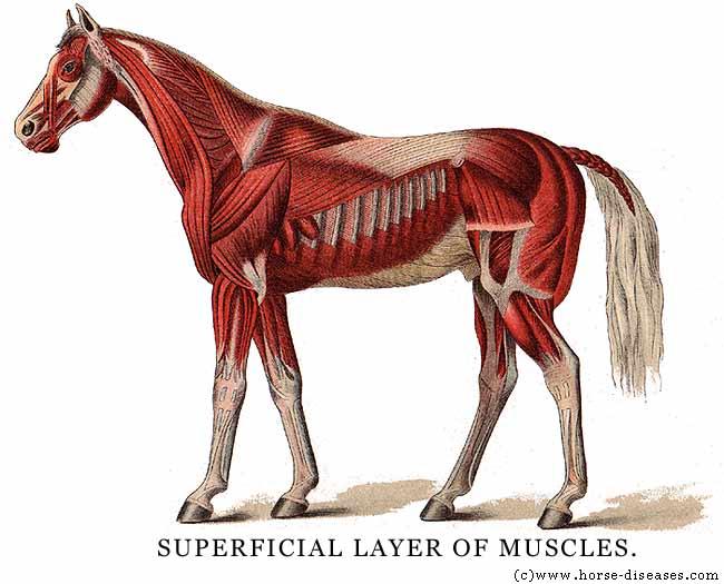 Kayat Kandi  Anatomy Horse Foot  Hoof