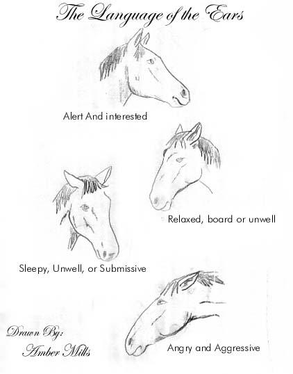 horseears.jpg