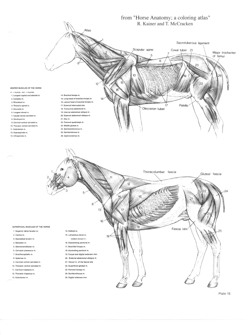 worksheet Horse Anatomy Worksheet horse anatomy pictures think like a rick gore horsemanship