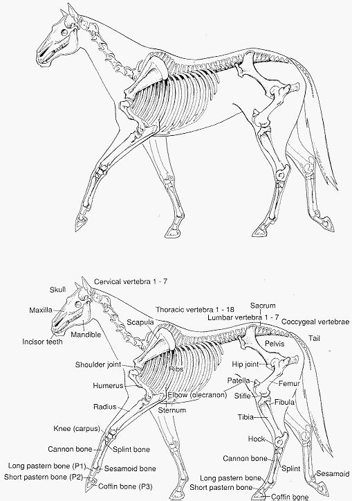 Horse Bone Diagram