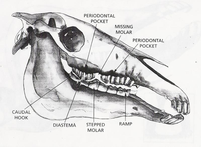 horse tooth diagram  horse  free engine image for user