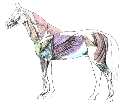 Horses Muscles Diagram